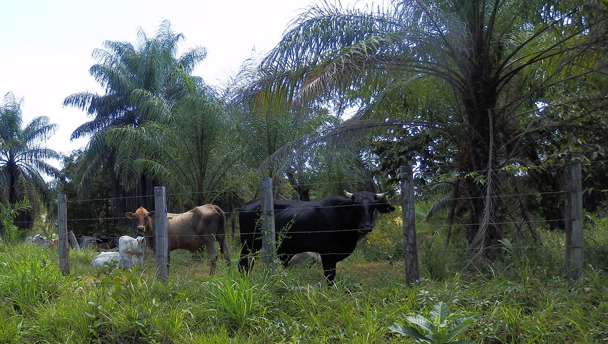 Panamanian cows