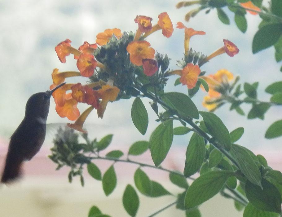 Boquete hummingbird