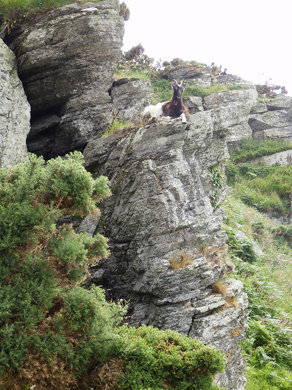 Valley of Rocks goat